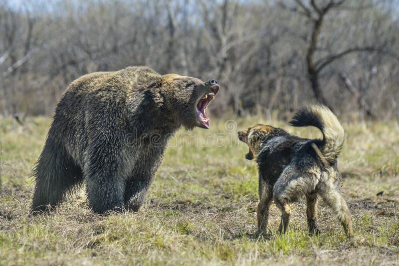 Grand ours de Brown avec le chien images libres de droits