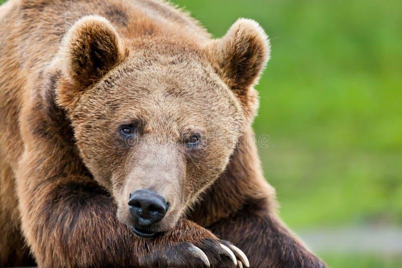 Grand ours gris brun reposant sa tête sur sa patte massive photographie stock libre de droits