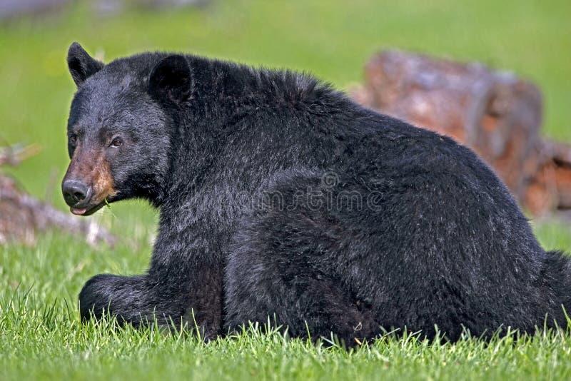 Grand ours noir image libre de droits