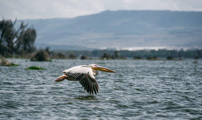 Grand pélican blanc en vol, lac Naivasha, Kenya photographie stock