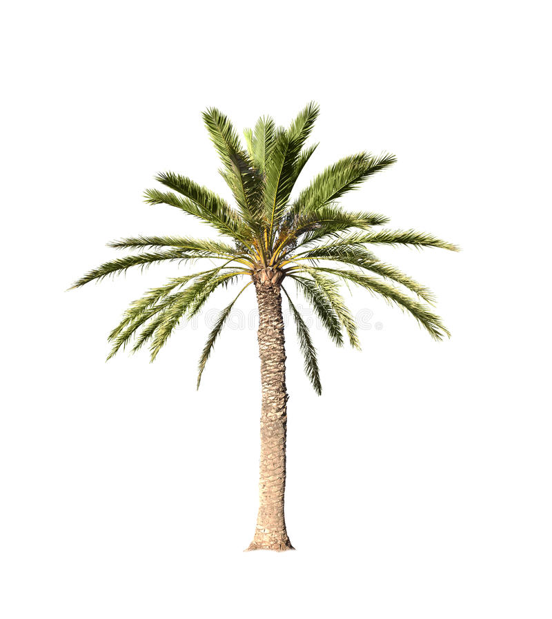 Grand palmier d'isolement sur le blanc images stock