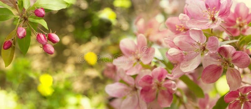 Grand panorama d'un pommier de floraison avec les fleurs et les bourgeons roses de crabe dans des couleurs chaudes Champ de pommi photos stock