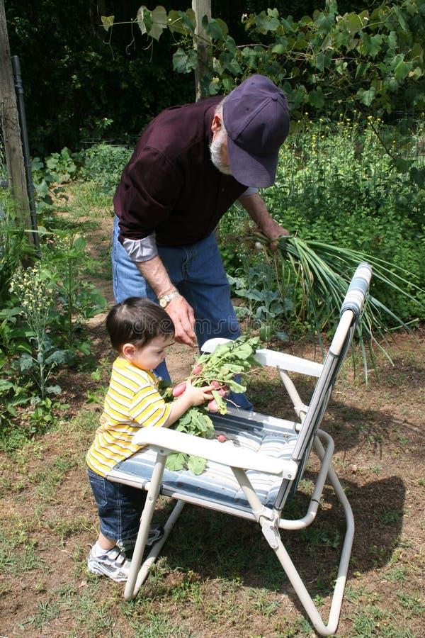 Grand-papa de aide de garçon dans le jardin images stock