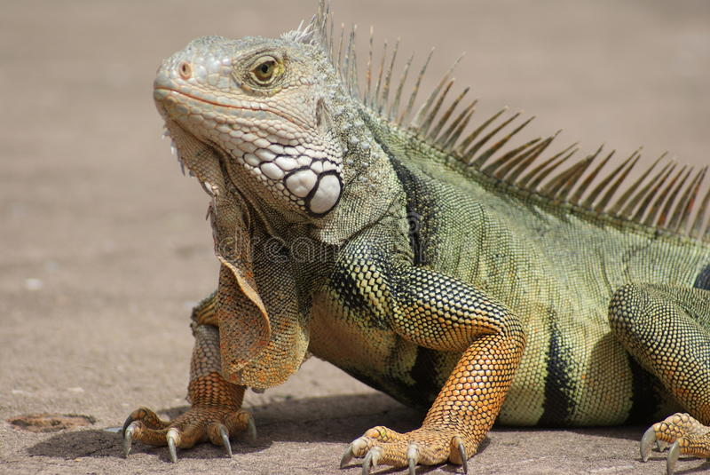 Grand Papa Iguana photo libre de droits