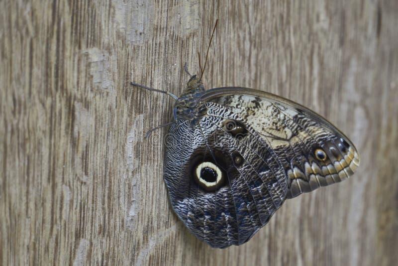 Grand papillon brun avec des couleurs de camouflage se reposant sur la texture en bois photos libres de droits