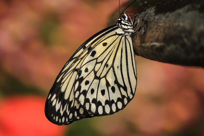 Grand papillon de cerf-volant de livre blanc se reposant sur une roche photo stock