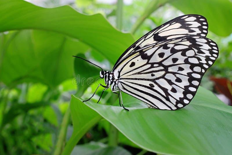 Grand papillon de nymphe d'arbre images libres de droits