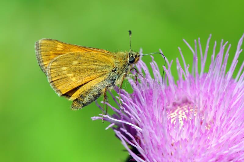 Grand papillon de sylvanus d'Ochlodes de capitaine images stock