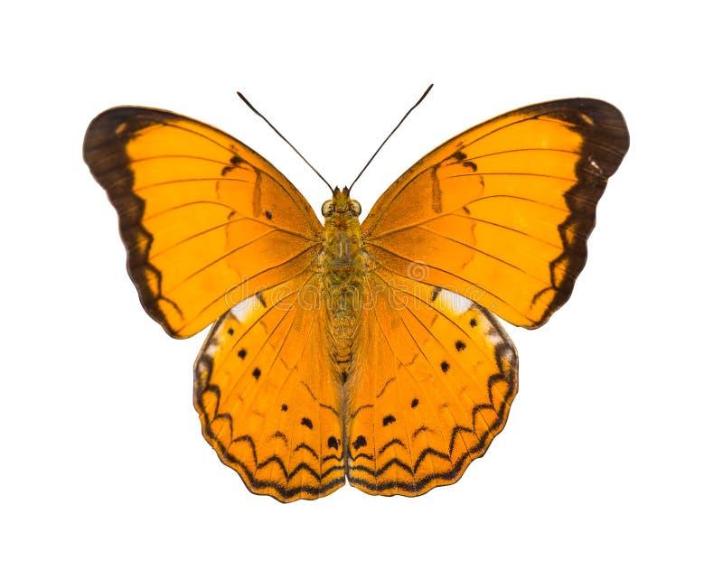 Grand papillon orange d'isolement de petit propriétaire image libre de droits