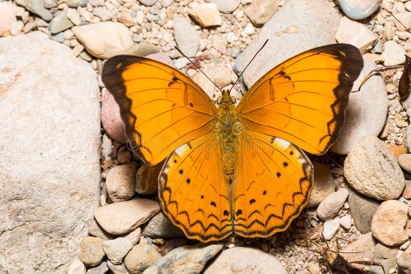 Grand papillon orange de petit propriétaire photographie stock libre de droits