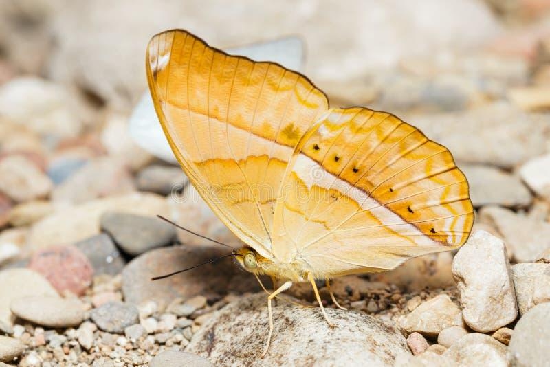 Grand papillon orange de petit propriétaire image stock