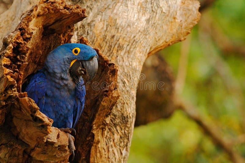 Grand perroquet bleu Hyacinth Macaw, hyacinthinus d'Anodorhynchus, en cavité de nid d'arbre, Pantanal, Brésil, Amérique du Sud photo stock