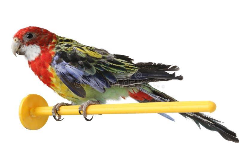 Grand perroquet coloré d'isolement photographie stock