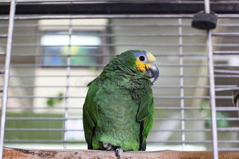 Grand perroquet dans une cage photo libre de droits