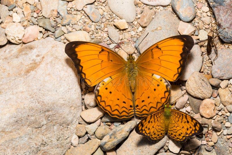 Grand petit propriétaire et petit papillon de léopard image stock