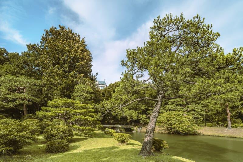 Grand pin sur une pelouse sous le ciel bleu et le grand bridg en pierre photographie stock