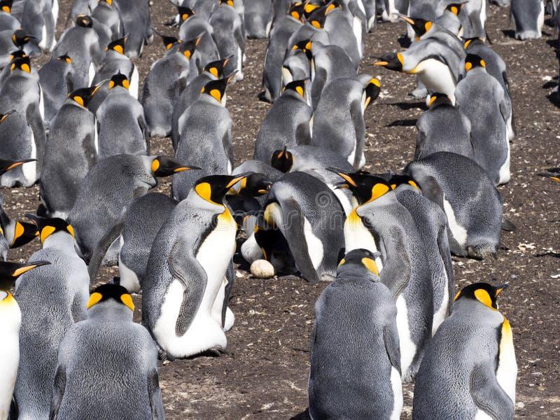 Grand pingouin de roi de colonie d'emboîtement, patagonicus d'Aptenodytes, point volontaire, Falkland Islands - les Malvinas image stock