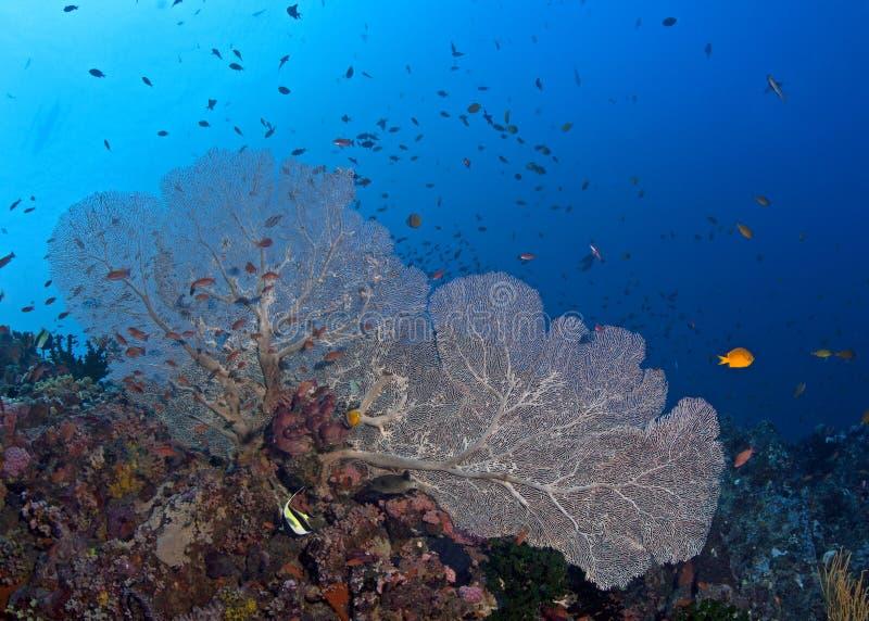 Grand pinkk seafan avec le fond de l'eau bleue photographie stock