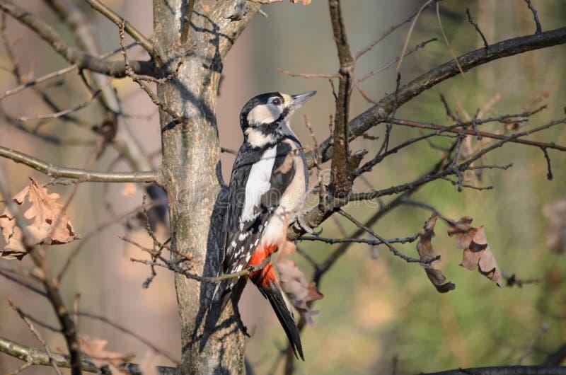 Grand pivert repéré dans la forêt Dendrocopos en gros plan principal photographie stock