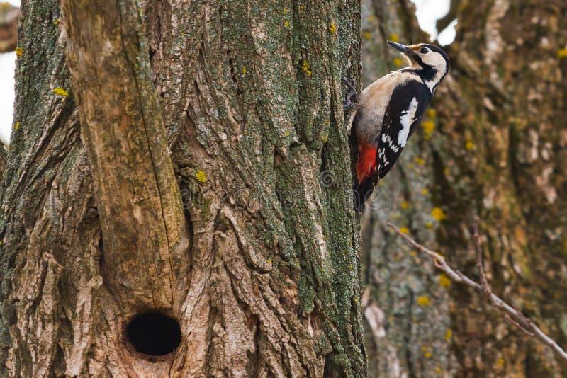 Grand pivert repéré sur un pin un matin de ressort dans le bâtiment creux photographie stock