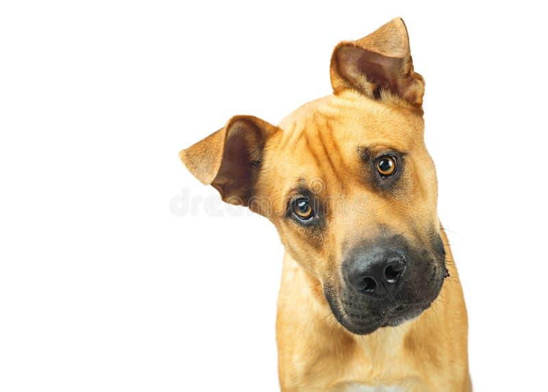 Grand plan rapproché de chien jaune regardant l'appareil-photo image stock