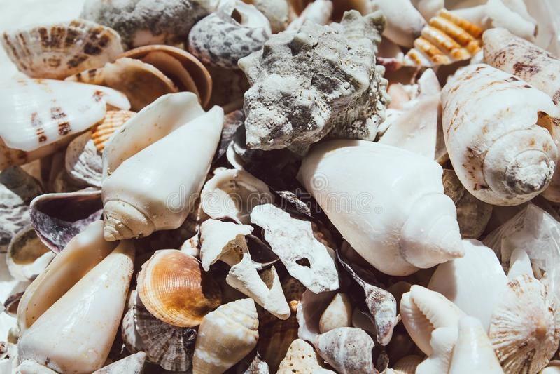 Grand plan rapproché de coquillages Les coquilles blanches ont dispersé La lumière du soleil tombe sur les belles coquilles blanc image libre de droits