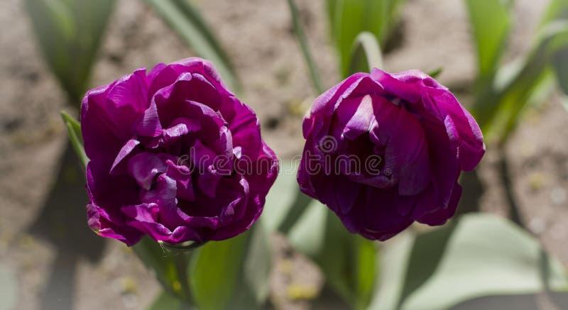 Grand plan rapproch? marron-rouge de tulipes allum? par le soleil de ressort photo libre de droits