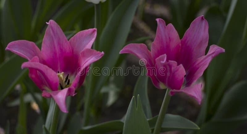 Grand plan rapproch? marron-rouge de tulipes sur le fond brouill? image stock