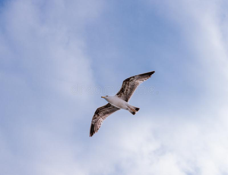 Grand planer simple de mouette haut en ciel bleu propre photographie stock