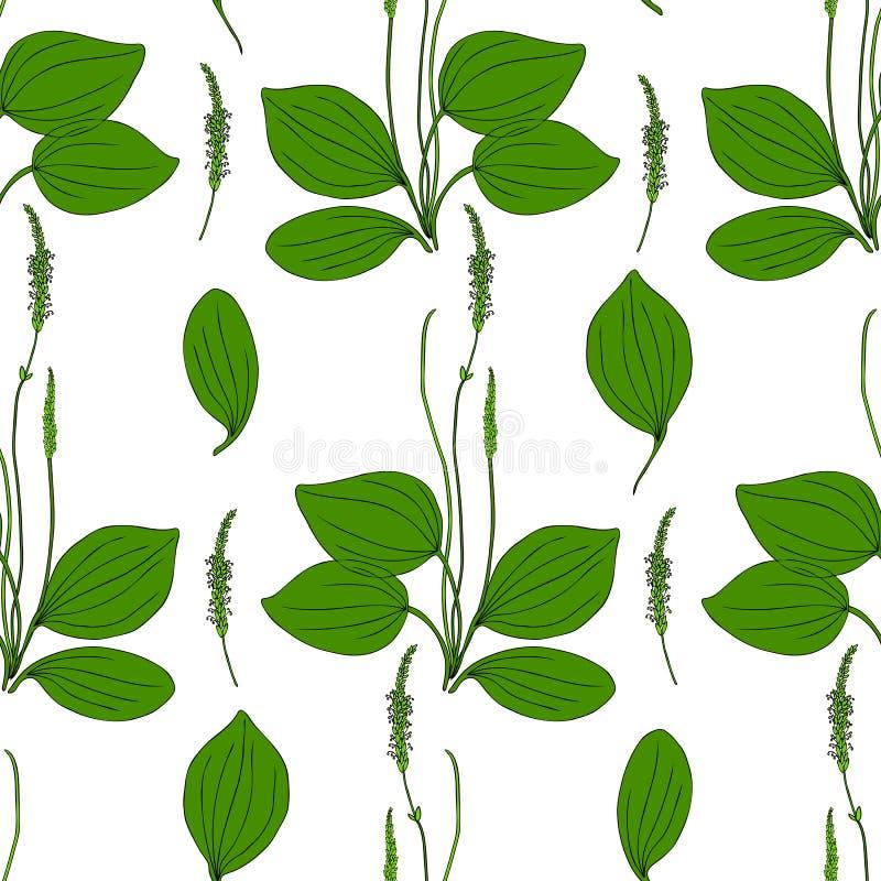 Grand plantain de modèle de fines herbes sans couture, fleur sauvage principale de champ de plante médicinale de Plantago d'isole illustration de vecteur
