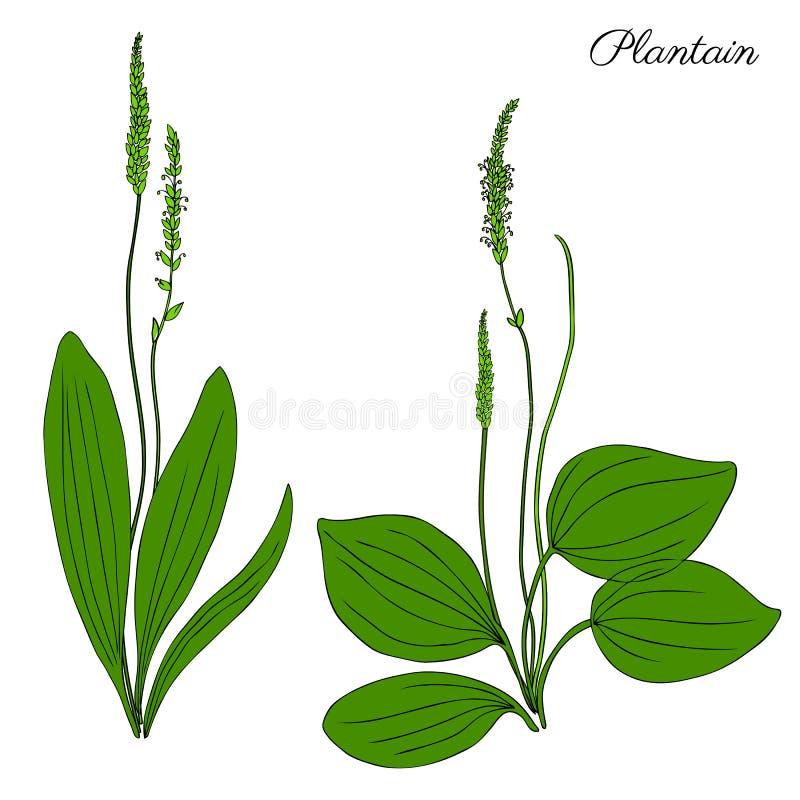 Grand plantain, fleur sauvage principale de champ de plante médicinale de Plantago d'isolement sur le fond blanc, griffonnage tir illustration stock