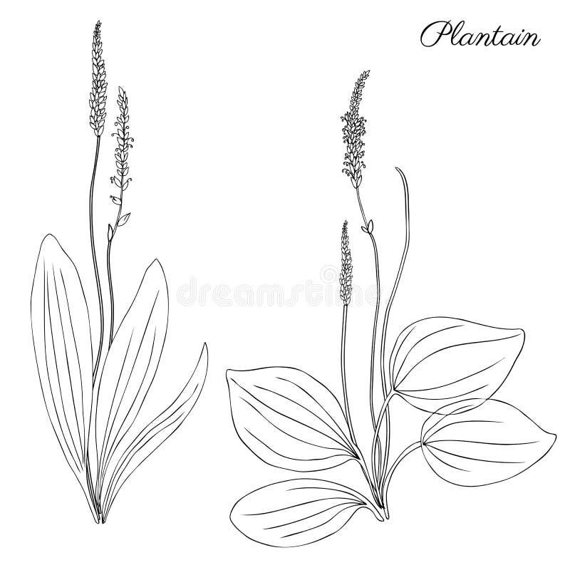 Grand plantain, fleur sauvage principale de champ de plante médicinale de Plantago sur le fond blanc, griffonnage tiré par la mai illustration libre de droits