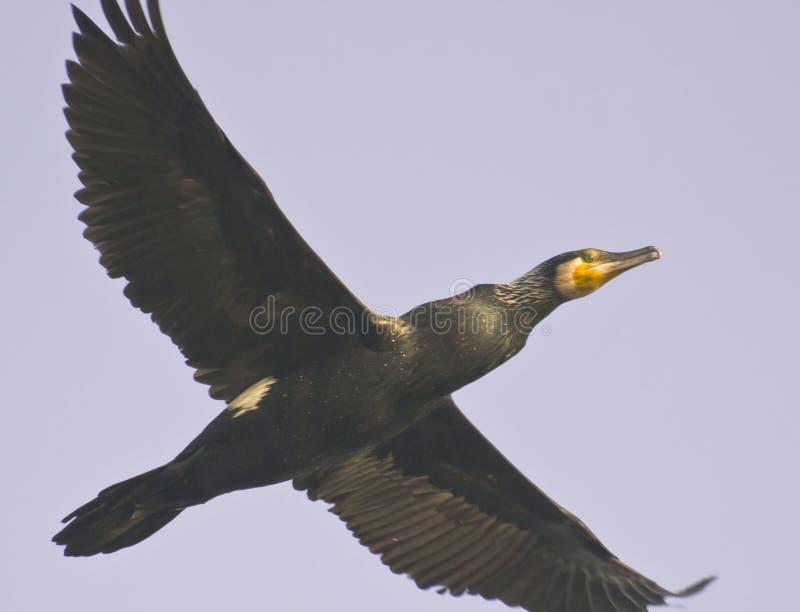 Grand plumage noir d'élevage de Cormorant image stock