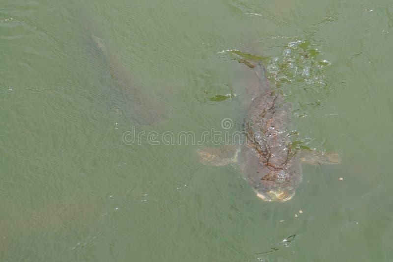 Grand poisson-chat en rivière propre photo stock