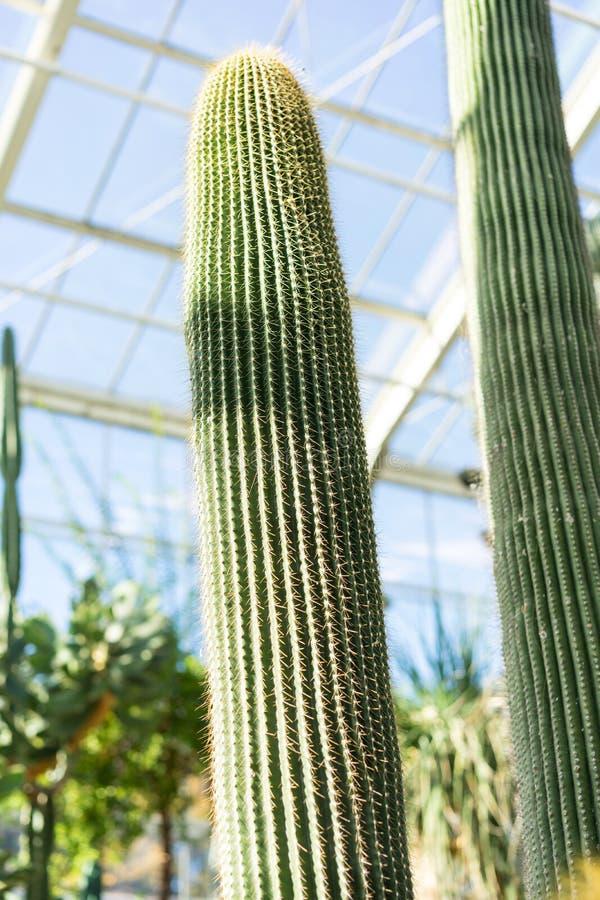 Grand polylopha de neobuxbaumia de cactus dans la maison verte image libre de droits