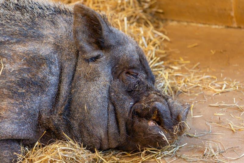 Grand porc noir de sommeil images stock