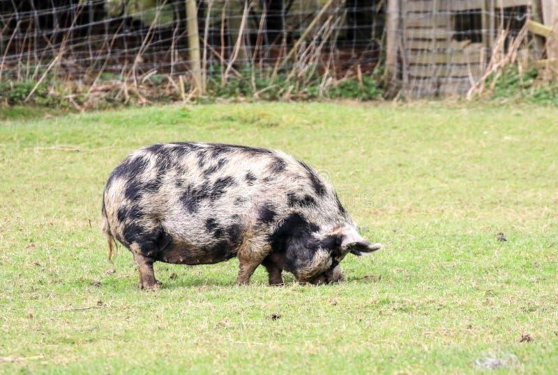 Grand porc noir et blanc photos libres de droits