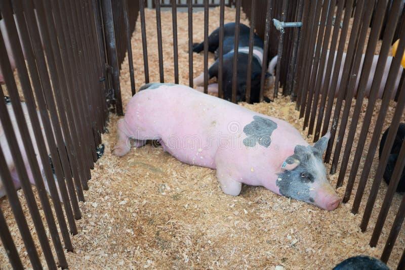 Grand porc rose dormant dans une cage en métal photographie stock