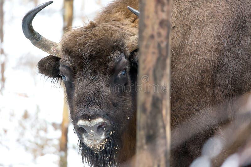 Grand portrait brun de Wisent de bison dans la forêt d'hiver avec la neige Troupeau de bison européen d'Aurochs, Bison Bonasus Ha image libre de droits