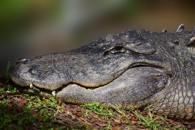 Grand portrait d'alligator photographie stock