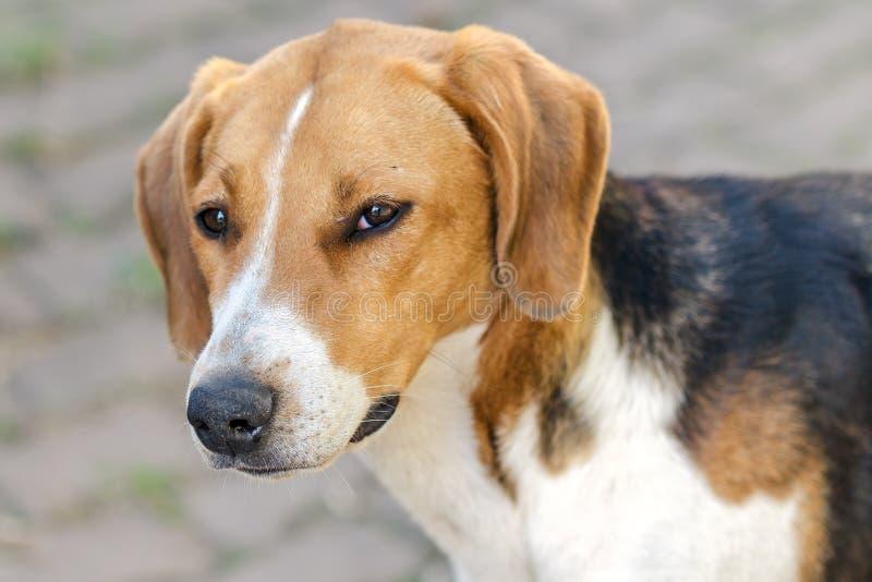 Grand portrait de la tête d'un chien de la race du chien russe (chiens de parfum) image libre de droits