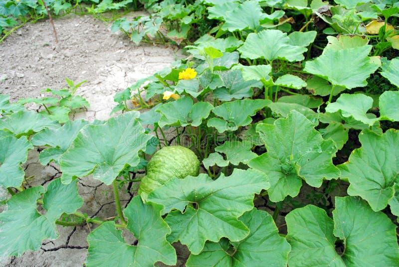 Grand potiron organique avec des fleurs images libres de droits