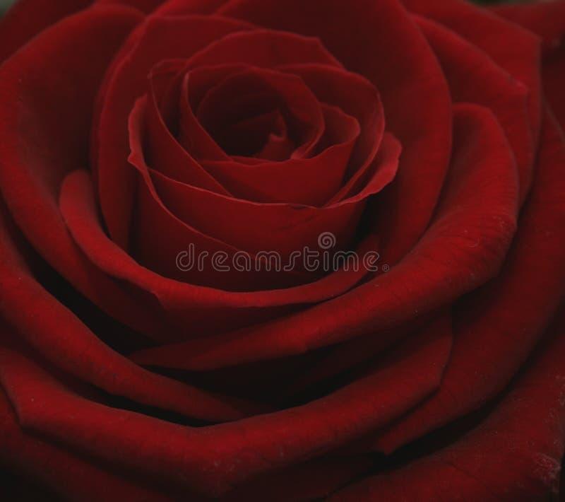 Grand Prix Rose royalty free stock images