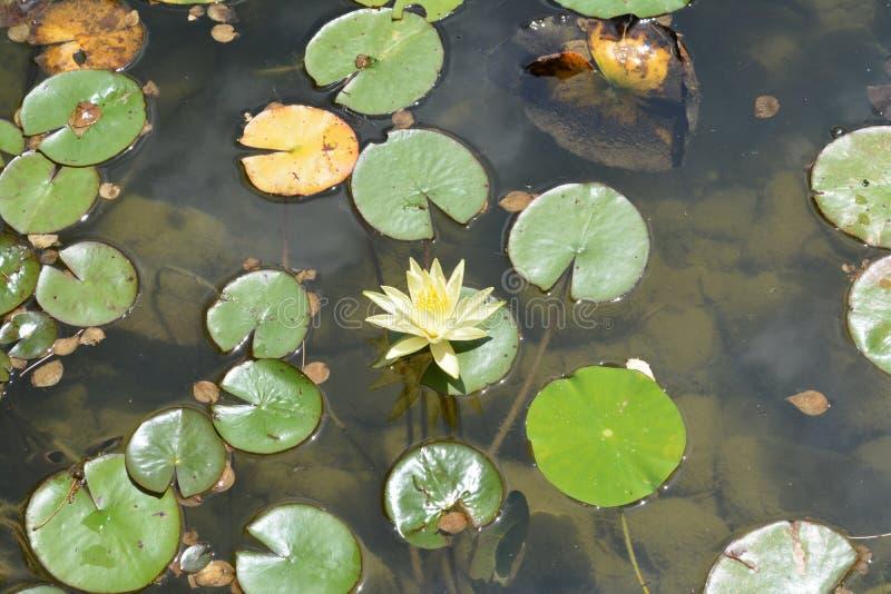 Grand Rapids Koi Pond Lillys stock image