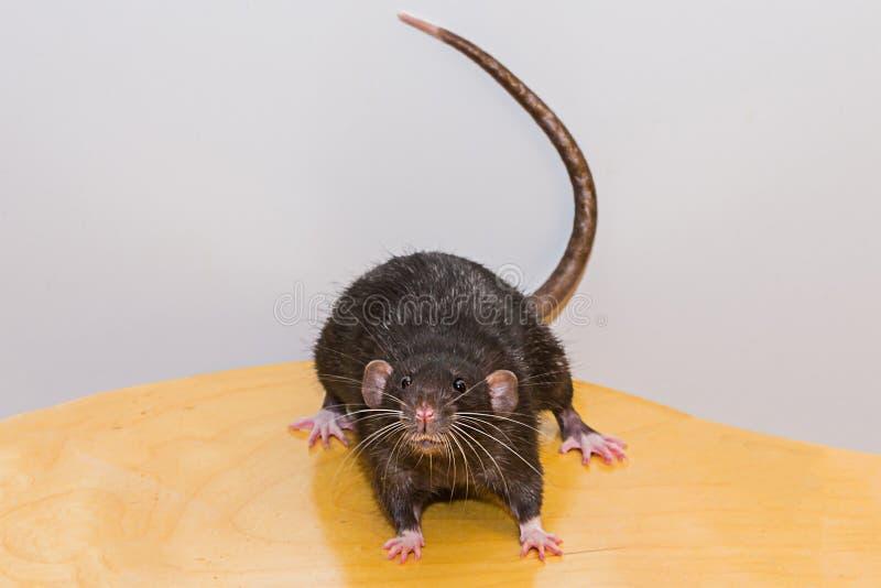 Grand rat étonné noir Aucune sortie les grands yeux regardent avec effroi et l'intérêt sur l'extérieur en bois essayent d'échappe image libre de droits