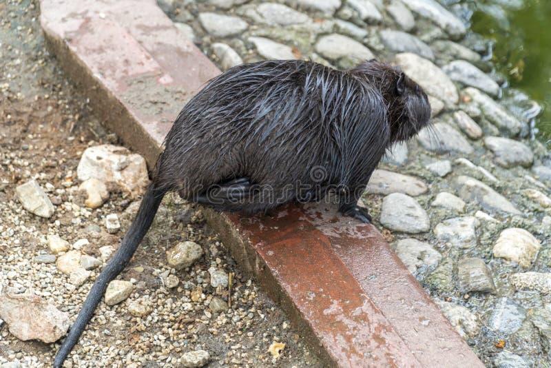 Grand rat au sol photos libres de droits