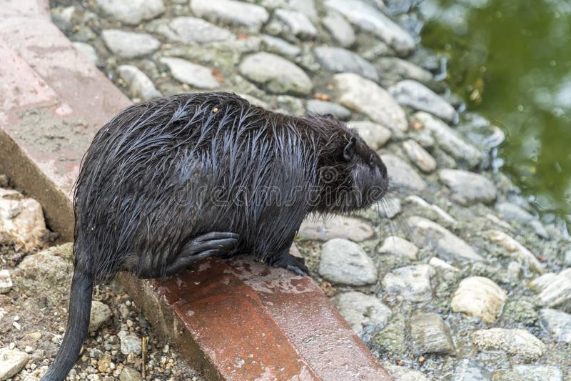 Grand rat au sol photo stock