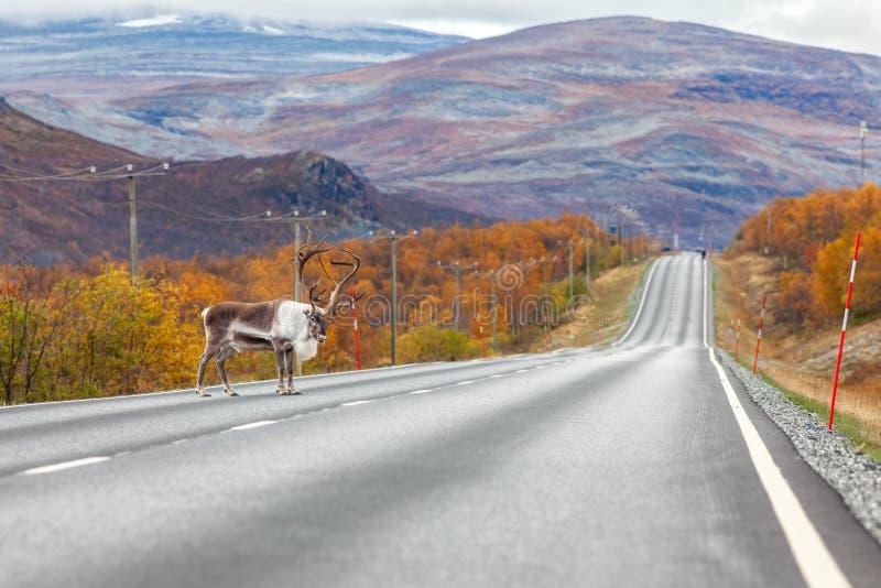 Grand renne sur la route, la forêt et les montagnes à l'arrière-plan, Laponie photos stock