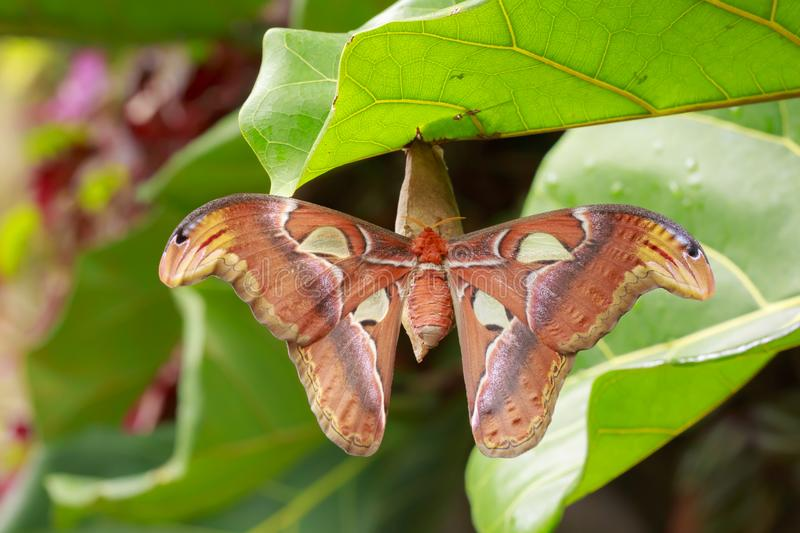 Grand repos tropical d'atlas d'Attacus de papillon de mite d'atlas images stock