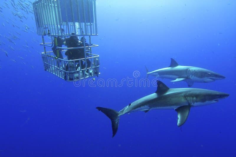 Grand requin blanc photos libres de droits